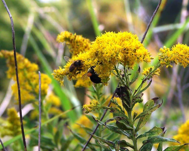 Honeybee and bumblebee on goldenrod