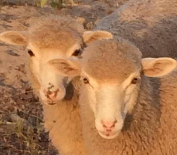 Two cream-colored sheep.